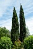 Δέντρα κυπαρισσιών στοκ εικόνες