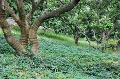 δέντρα λίτσι βουνοπλαγιώ&n Στοκ φωτογραφία με δικαίωμα ελεύθερης χρήσης
