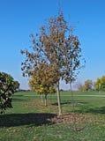 Δέντρα λευκών με τα κίτρινα φύλλα στο φθινόπωρο Στοκ φωτογραφία με δικαίωμα ελεύθερης χρήσης