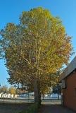 Δέντρα λευκών με τα κίτρινα φύλλα στο φθινόπωρο Στοκ φωτογραφίες με δικαίωμα ελεύθερης χρήσης