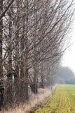 Δέντρα λευκών στην επαρχία σειρών Στοκ Εικόνα