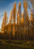 Δέντρα λευκών στο ηλιοβασίλεμα το φθινόπωρο Στοκ Εικόνες