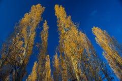 Δέντρα λευκών στο ηλιοβασίλεμα το φθινόπωρο Στοκ εικόνες με δικαίωμα ελεύθερης χρήσης