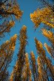 Δέντρα λευκών στο ηλιοβασίλεμα το φθινόπωρο Στοκ Φωτογραφίες