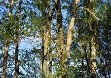 Δέντρα λευκών στο καλοκαίρι Στοκ φωτογραφία με δικαίωμα ελεύθερης χρήσης