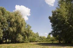 Δέντρα λευκών στο λιβάδι Πράσινος, καλοκαίρι Στοκ Φωτογραφία
