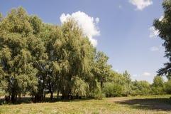 Δέντρα λευκών στο λιβάδι Πράσινος, καλοκαίρι Στοκ Εικόνες