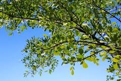 Δέντρα λευκών του παρατηρητή Campground, Zion Στοκ εικόνα με δικαίωμα ελεύθερης χρήσης