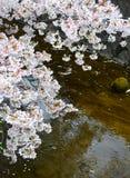 Δέντρα λουλουδιών Sakura/άνθος κερασιών από τη λίμνη νερού, Ιαπωνία στοκ εικόνες