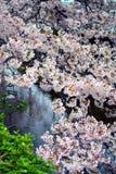 Δέντρα λουλουδιών Sakura/άνθος κερασιών από τη λίμνη νερού, Ιαπωνία στοκ εικόνες με δικαίωμα ελεύθερης χρήσης