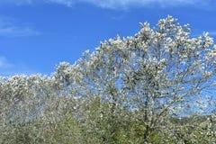 Δέντρα με τα άσπρα φύλλα και μπλε ουρανός με τα άσπρα σύννεφα στοκ φωτογραφίες με δικαίωμα ελεύθερης χρήσης
