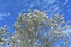 Δέντρα με τα άσπρα φύλλα μπλε λευκό ουρανού σύννεφων Άσπροι ξύλο και κλάδοι στοκ φωτογραφία με δικαίωμα ελεύθερης χρήσης
