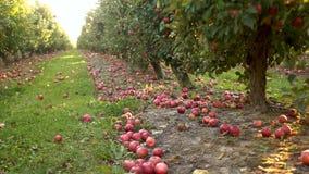 Δέντρα με τα κόκκινα μήλα σε έναν οπωρώνα Τα όμορφα κόκκινα μήλα είναι ώριμα και πέφτουν κατ' ευθείαν στο έδαφος Μεγάλη γεωργία γ απόθεμα βίντεο