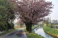 Δέντρα με τα ρόδινα λουλούδια κατά μήκος Naviglio Pavese στοκ φωτογραφία