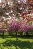 Δέντρα με τα ρόδινα λουλούδια την άνοιξη Στοκ φωτογραφία με δικαίωμα ελεύθερης χρήσης