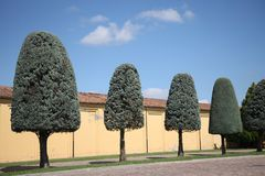 Δέντρα με τη μορφή κορωνών υπό μορφή στρογγυλευμένου κώνου Στοκ Φωτογραφίες