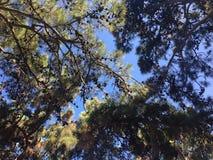 Δέντρα με τους κώνους ενάντια στον ουρανό το καλοκαίρι του 2018 στο νησί της Ρόδου στοκ εικόνα