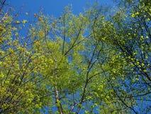 Δέντρα με το νέο φύλλωμα Στοκ Εικόνα