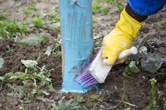 δέντρα μηλιάς που αντιμετωπίζονται το Μάρτιο με το βορδιγάλειο πολτό για να καταπολεμήσει το ωίδιο Ο βορδιγάλειος πολτός επιτρέπε στοκ εικόνες