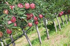 δέντρα μηλιάς Στοκ Εικόνα