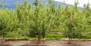 Δέντρα μηλιάς Στοκ εικόνες με δικαίωμα ελεύθερης χρήσης