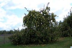 Δέντρα μηλιών στον τομέα με το φράκτη Στοκ φωτογραφία με δικαίωμα ελεύθερης χρήσης