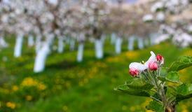 Δέντρα μηλιάς Blosoming που προστατεύονται με το μίγμα του Μπορντώ Στοκ Εικόνα