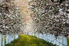Δέντρα μηλιάς Blosoming που προστατεύονται με το μίγμα του Μπορντώ Στοκ φωτογραφία με δικαίωμα ελεύθερης χρήσης