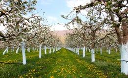 Δέντρα μηλιάς Blosoming που προστατεύονται με το μίγμα του Μπορντώ Στοκ Φωτογραφία