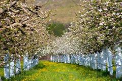 Δέντρα μηλιάς Blosoming που προστατεύονται με το μίγμα του Μπορντώ Στοκ Φωτογραφίες