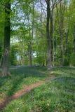 δέντρα μονοπατιών οξιών Στοκ Εικόνες