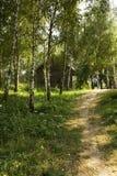 δέντρα μονοπατιών σημύδων Στοκ εικόνα με δικαίωμα ελεύθερης χρήσης