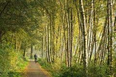 δέντρα μονοπατιών σημύδων Στοκ Εικόνες