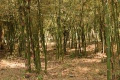 Δέντρα μπαμπού σε Kavery Nisarghadama στοκ εικόνες με δικαίωμα ελεύθερης χρήσης
