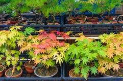 Δέντρα μπονσάι με τα φύλλα φθινοπώρου Στοκ εικόνα με δικαίωμα ελεύθερης χρήσης