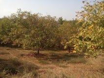 Δέντρα ξύλων καρυδιάς στο Κασμίρ Στοκ εικόνα με δικαίωμα ελεύθερης χρήσης