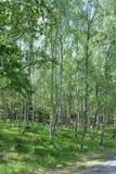 Δέντρα οξιών σε μια επιφύλαξη φύσης Στοκ Φωτογραφία