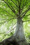 δέντρα οξιών Στοκ Εικόνες