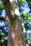 Δέντρα ουράνιων τόξων/χρωματισμένο δάσος, Maui στοκ εικόνες με δικαίωμα ελεύθερης χρήσης