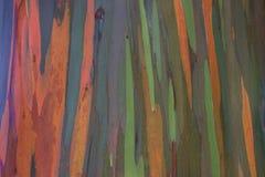 Δέντρα ουράνιων τόξων/χρωματισμένο δάσος, Maui στοκ εικόνα με δικαίωμα ελεύθερης χρήσης
