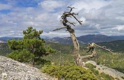 Δέντρα πεύκων λειψάνων στα της Κριμαίας βουνά Στοκ Φωτογραφία