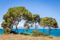 Δέντρα πεύκων εκτός από τη θάλασσα Στοκ Εικόνα
