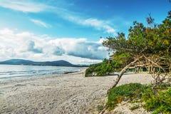 Δέντρα πεύκων θαλασσίως στη Σαρδηνία Στοκ εικόνα με δικαίωμα ελεύθερης χρήσης