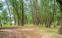 Δέντρα πεύκων και τροπικές παραλίες Σύνολο των φύλλων από τη θάλασσα bre στοκ εικόνα με δικαίωμα ελεύθερης χρήσης