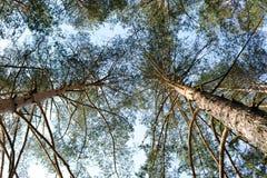Δέντρα πεύκων κατά ανατρέχοντας Στοκ Φωτογραφία