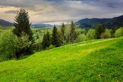 Δέντρα πεύκων κοντά στην κοιλάδα στα βουνά στη βουνοπλαγιά Στοκ Φωτογραφίες