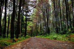 Δέντρα πεύκων μετά από τη βροχή Στοκ φωτογραφία με δικαίωμα ελεύθερης χρήσης