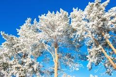 Δέντρα πεύκων με το hoarfrost ενάντια στο μπλε ουρανό Στοκ φωτογραφία με δικαίωμα ελεύθερης χρήσης