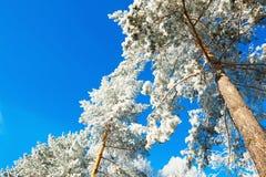 Δέντρα πεύκων με το hoarfrost ενάντια στο μπλε ουρανό Στοκ Φωτογραφία