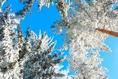 Δέντρα πεύκων με το hoarfrost ενάντια στο μπλε ουρανό Στοκ εικόνα με δικαίωμα ελεύθερης χρήσης